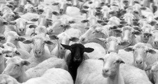 black-sheep-3